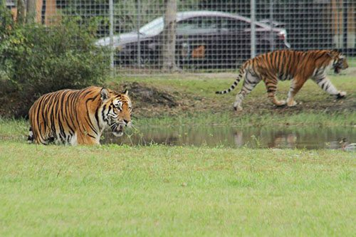 Big-Cat-Rescue-Tigers_1060392419_n