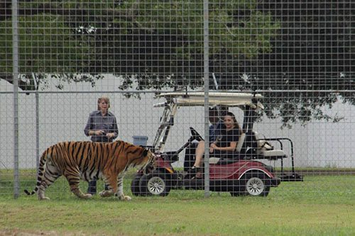 Big-Cat-Rescue-Tigers_111879563_n