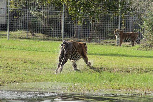 Big-Cat-Rescue-Tigers_329756501_n