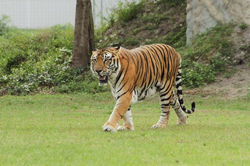 Big-Cat-Rescue-Tigers_362148523_n