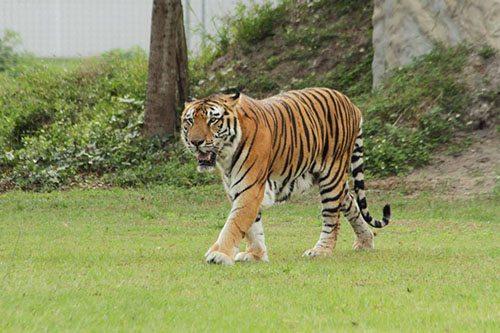 Big-Cat-Rescue-Tigers_362148523_n