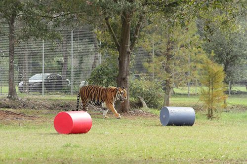 Big-Cat-Rescue-Tigers_433606737_n