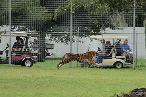 Big-Cat-Rescue-Tigers_446016923_n