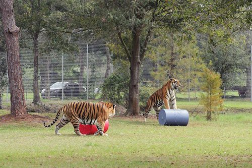 Big-Cat-Rescue-Tigers_463163865_n