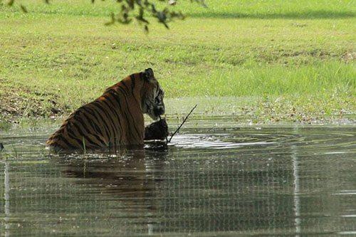 Big-Cat-Rescue-Tigers_622123389_n