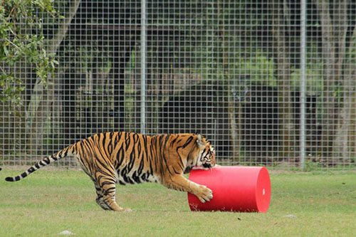 Big-Cat-Rescue-Tigers_643683668_n
