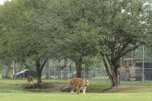 Big-Cat-Rescue-Tigers_837388553_n