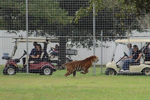 Big-Cat-Rescue-Tigers_859175831_n