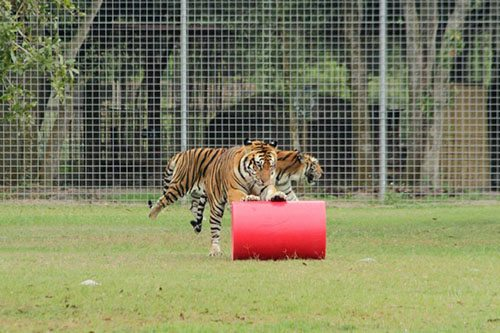 Big-Cat-Rescue-Tigers_913175615_n
