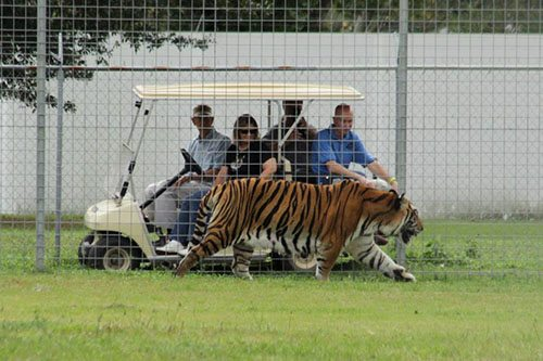 Big-Cat-Rescue-Tigers_928732927_n