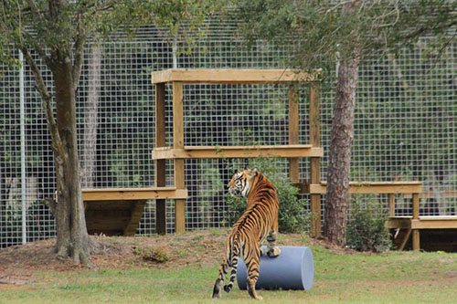 Big-Cat-Rescue-Tigers_98080333_n
