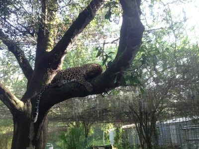 Cheetaro Leopard doing the leopard lounge up in his tree