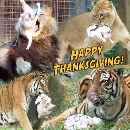 Today at Big Cat Rescue Nov 28 2013 Happy Thanksgiving
