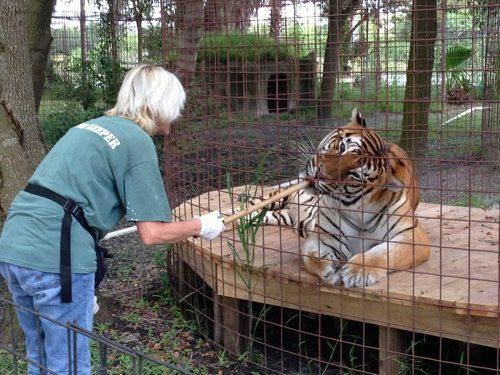 Today at Big Cat Rescue Nov 22 2013