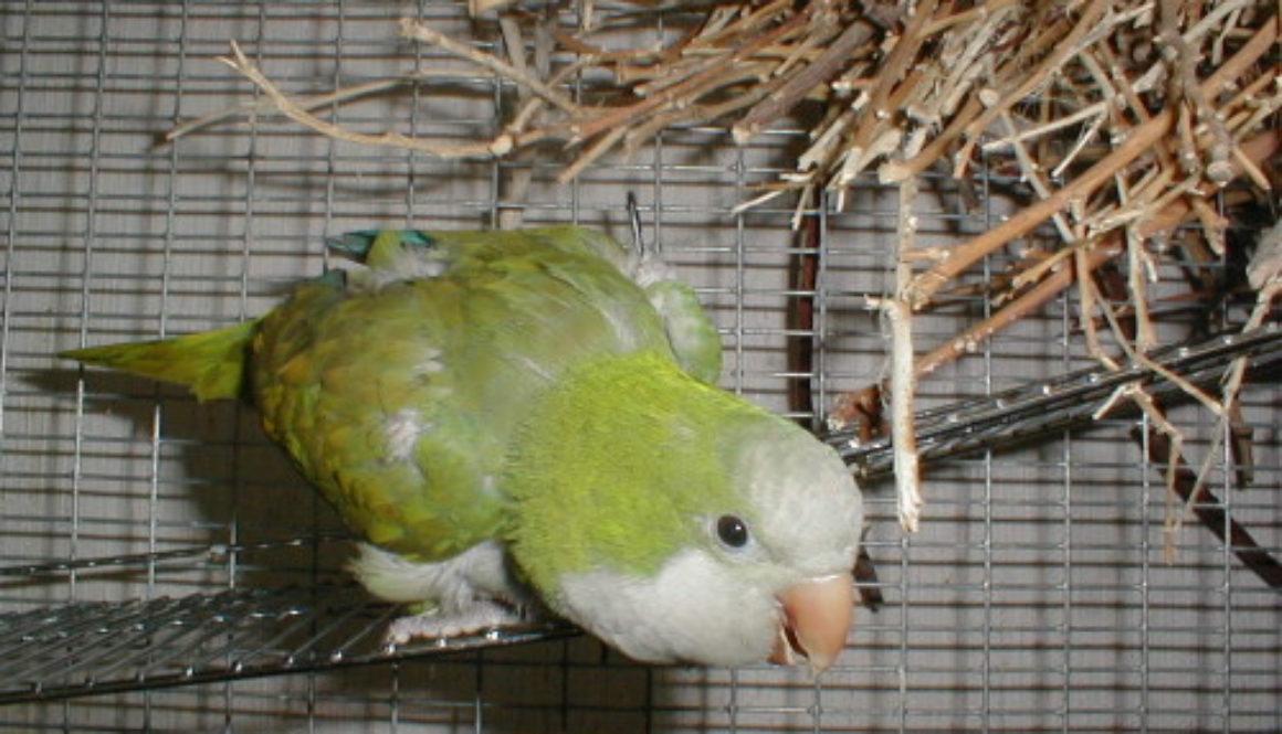 Elmo Parrot
