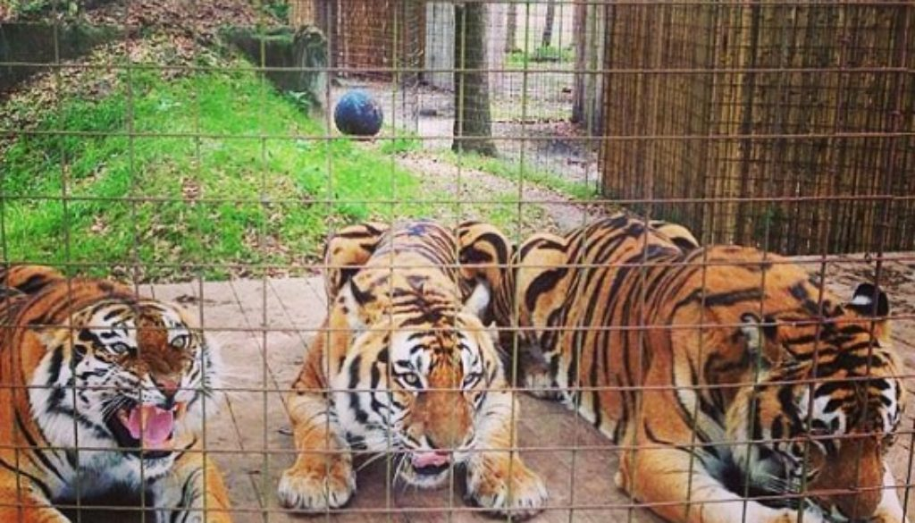 Tigers Amanda, Andre, & Arthur Enjoying Popsicles
