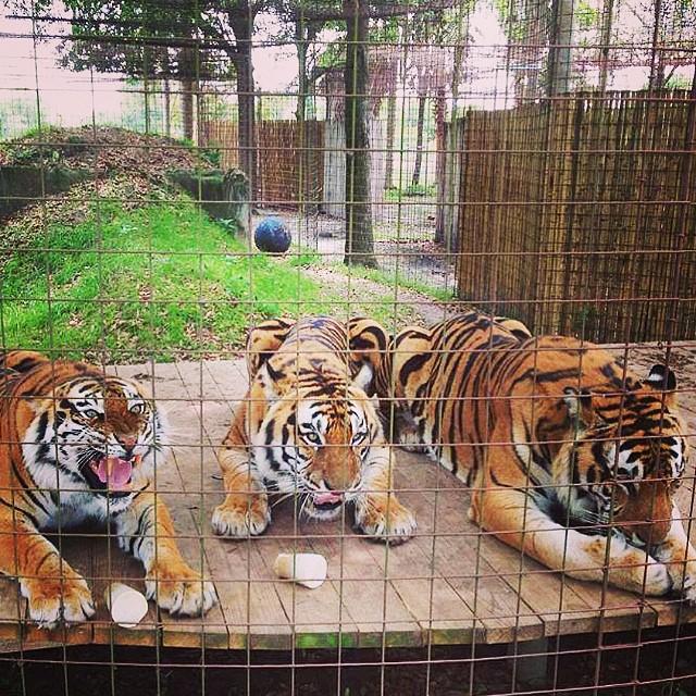 Arthur Andre y Amanda son tigres
