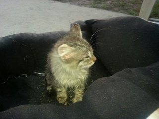 Bobcat-kitten-1-not