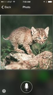 Bobcat-kitten-5-YES