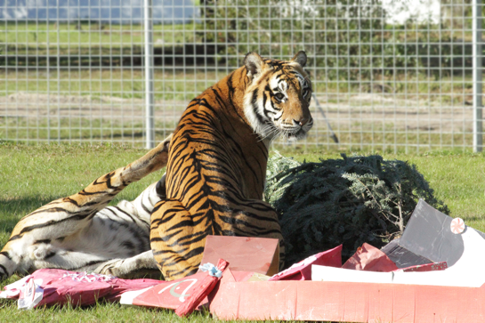 Today at Big Cat Rescue Dec 26 2013