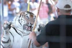 Clayton Rosaire Taunting Tiger