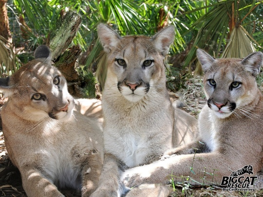 Cougar-Mountain-Lion-Puma-3cougars