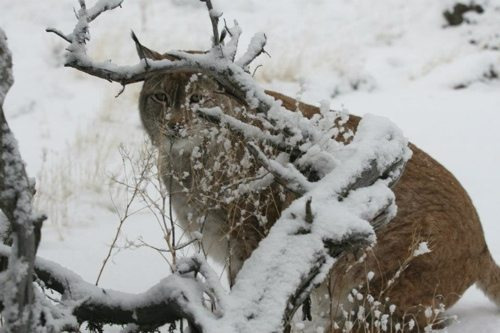 Lynx-Shayla-Scott-Alfie-Snow