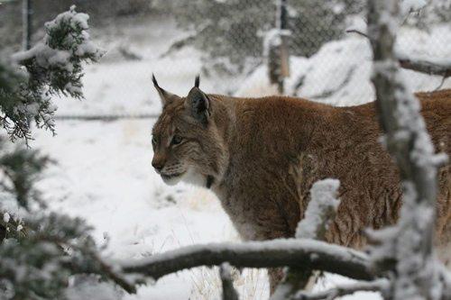 Lynx-Shayla-Scott-Alfie2