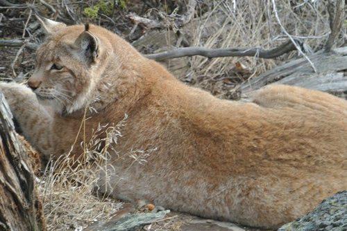 Lynx-Shayla-Scott-Alfie3