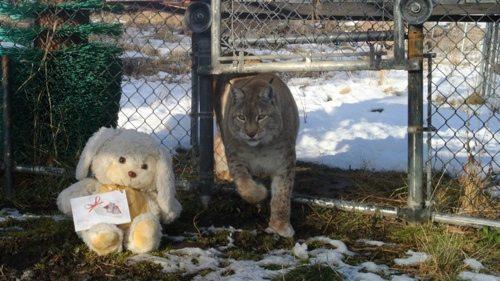 Lynx-Shayla-Scott-Alfie4