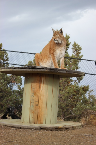 Lynx-Shayla-Scott-AlfieSpool