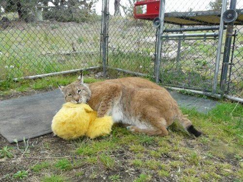 Lynx-Shayla-Scott-AlfieStuffedChicken
