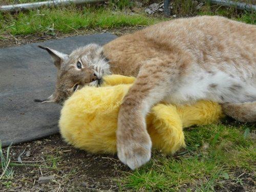 Lynx-Shayla-Scott-AlfieStuffedChicken1