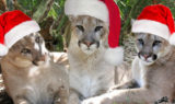Merry-Christmas-Cougar-Mountain-Lion-3cougars