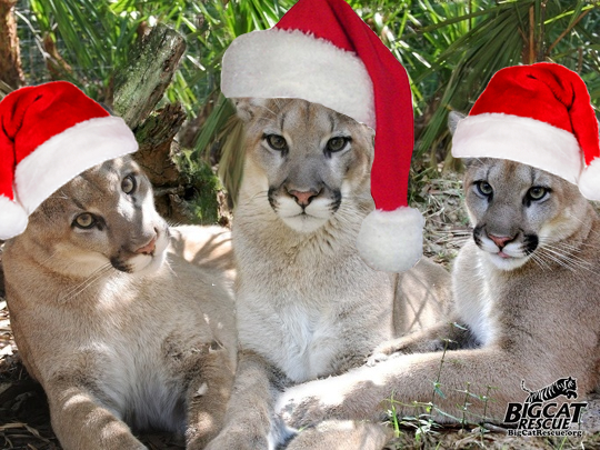 Today at Big Cat Rescue Dec 2 2013