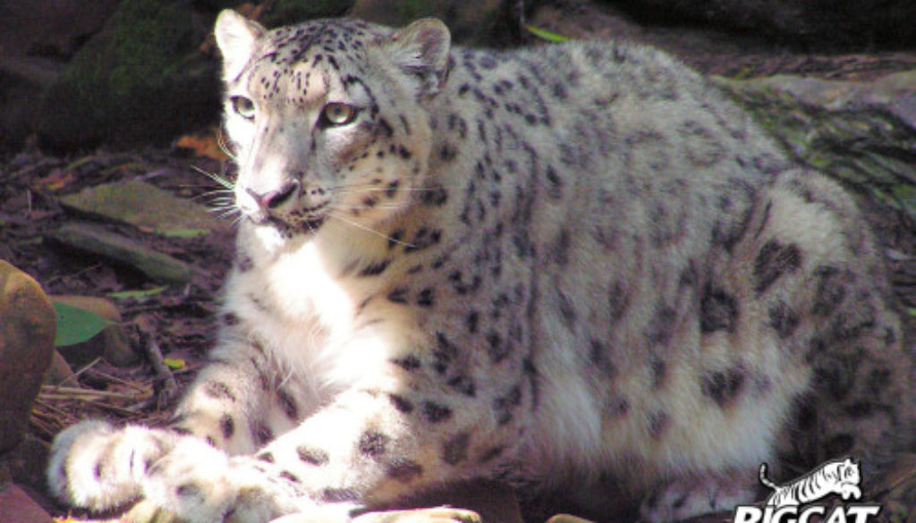 Snow-Leopards-BCR-2005-Chloe5