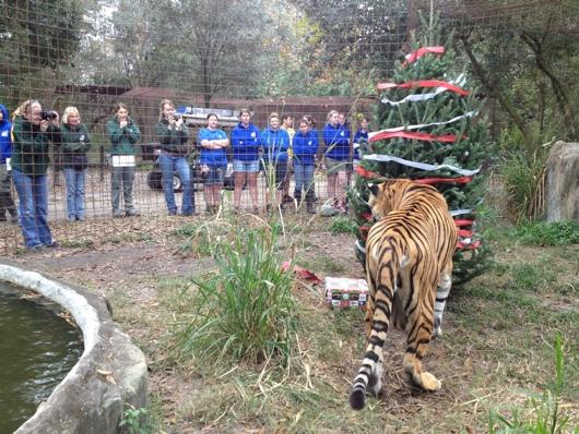 Today at Big Cat Rescue Dec 12 2013