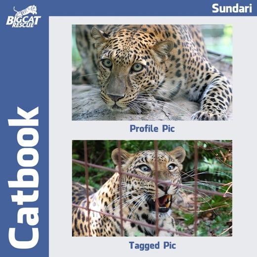 catbook-sundari-leopard
