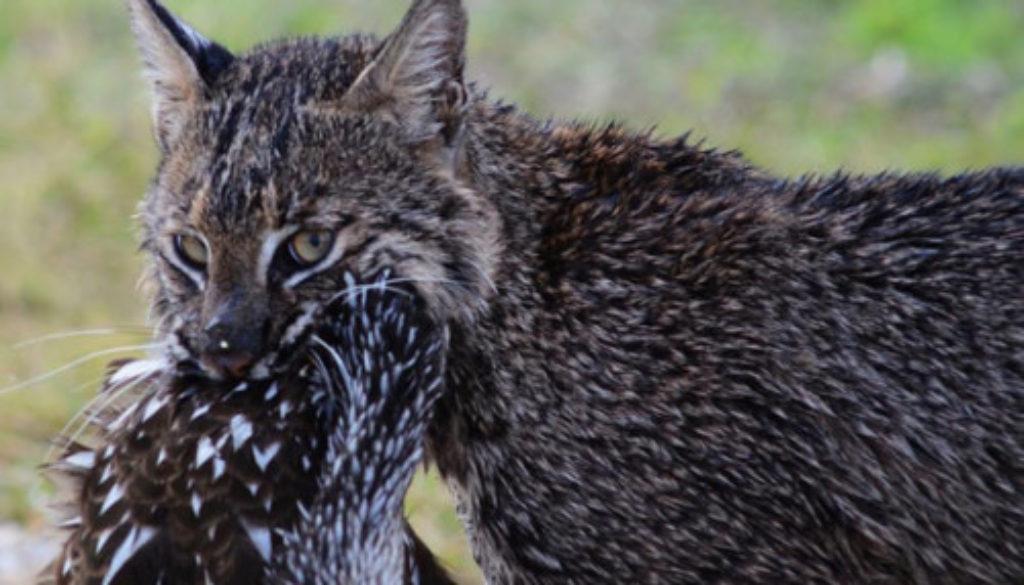Bobcat-2014-Lakeland-Circle-B-Bar-Reserve-bird2