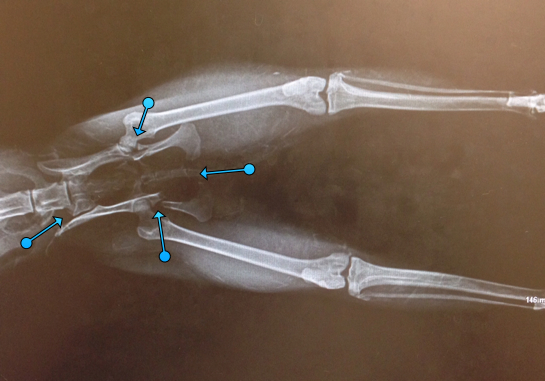Bobcat-Rehab-Cypress-Xrays_1268