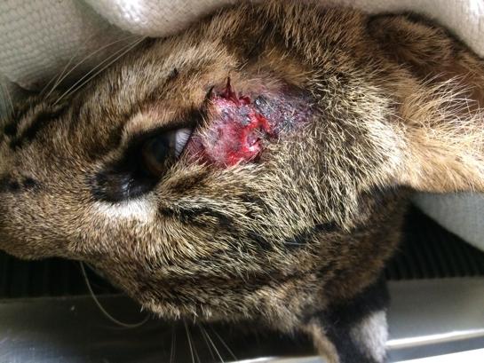 Bobcat-Rehab-Cypress_5938