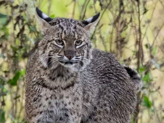 Bobcat-Wild-Circle-B-Bar-Reserve_10958774007083
