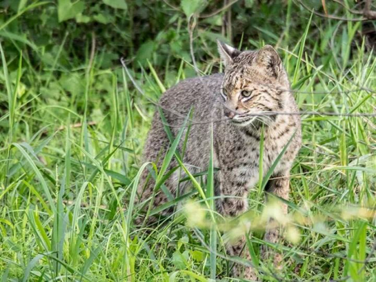 Bobcat-Wild-Circle-B-Bar-Reserve_10974912539052