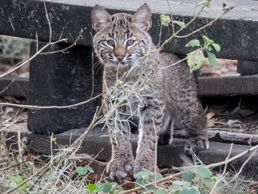 Bobcat-Wild-Circle-B-Bar-Reserve_5475393061666
