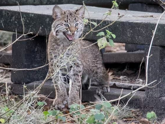 Bobcat-Wild-Circle-B-Bar-Reserve_5483306444848