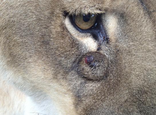 Lioness-Sasha_0027