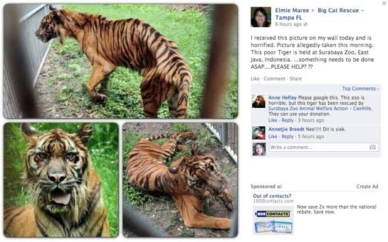 Surabaya-Zoo-Tiger