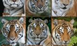 Tell A Tiger By His Stripes
