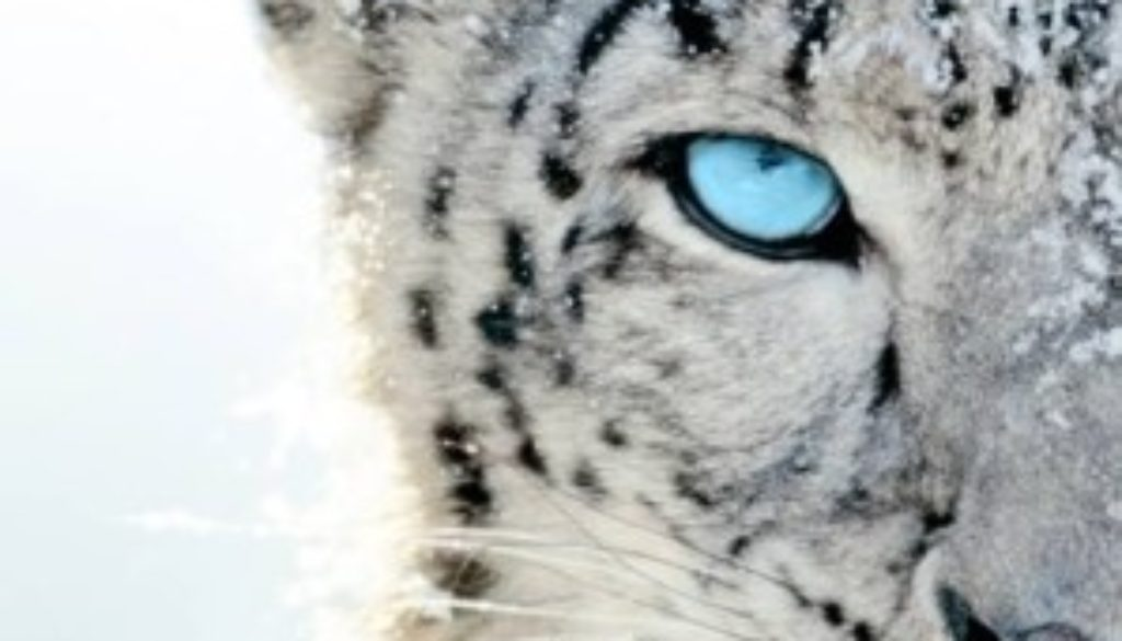 snow leopard half face