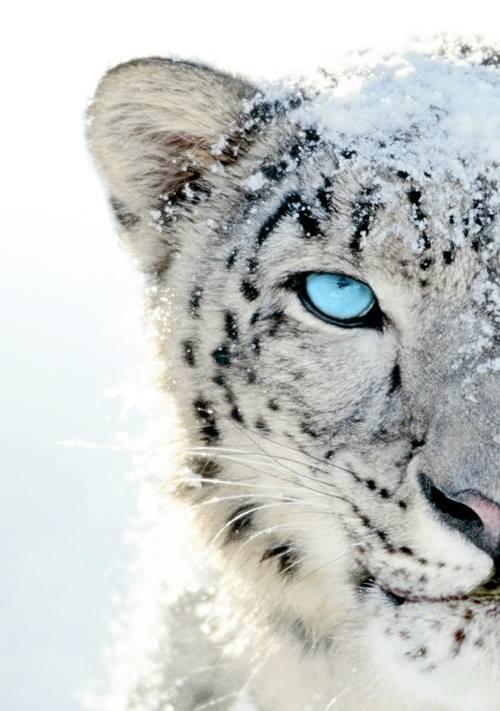 snow leopard half face